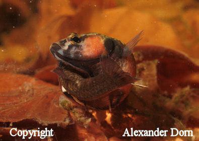 Weissaum betta for Kampffische arten